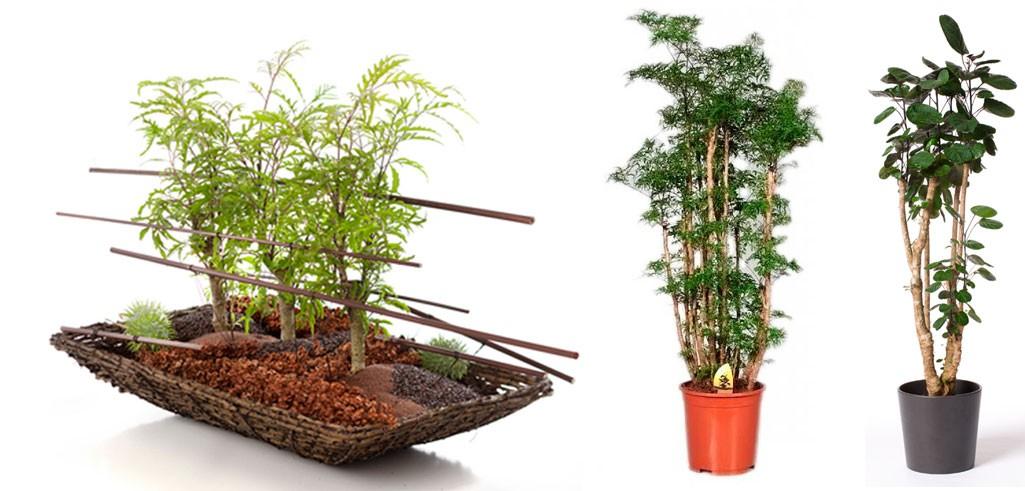 Полисциас: выращивание и уход в домашних условиях
