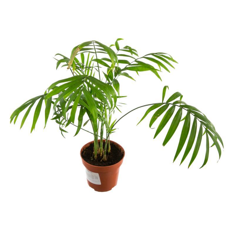 Хамедорея элеганс: выращивание и уход в домашних условиях