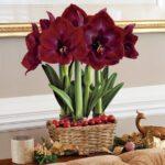 Что отличает амариллис от гиппеаструма: уход за цветами и их разведение в домашних условиях