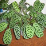 Ктенанта: выращивание и уход в домашних условиях