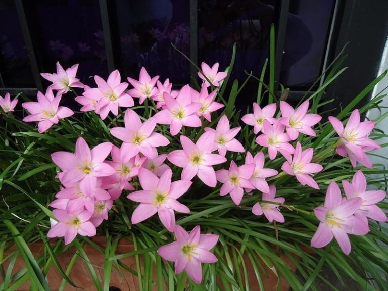 Зефирантес: уход и выращивание в домашних условиях,фото,видео