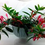 Колумнея: уход и выращивание в домашних условиях