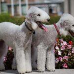 Бедлингтон-терьер: история происхождения породы и характер собаки