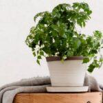 Радермахера: выращивание и уход в домашних условиях,фото,видео