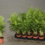 Хамедорея: уход и выращивание в домашних условиях