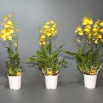 Онцидиум: уход и выращивание в домашних условиях