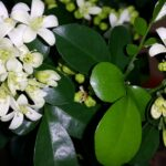 Мурайя: выращивание и уход в домашних условиях