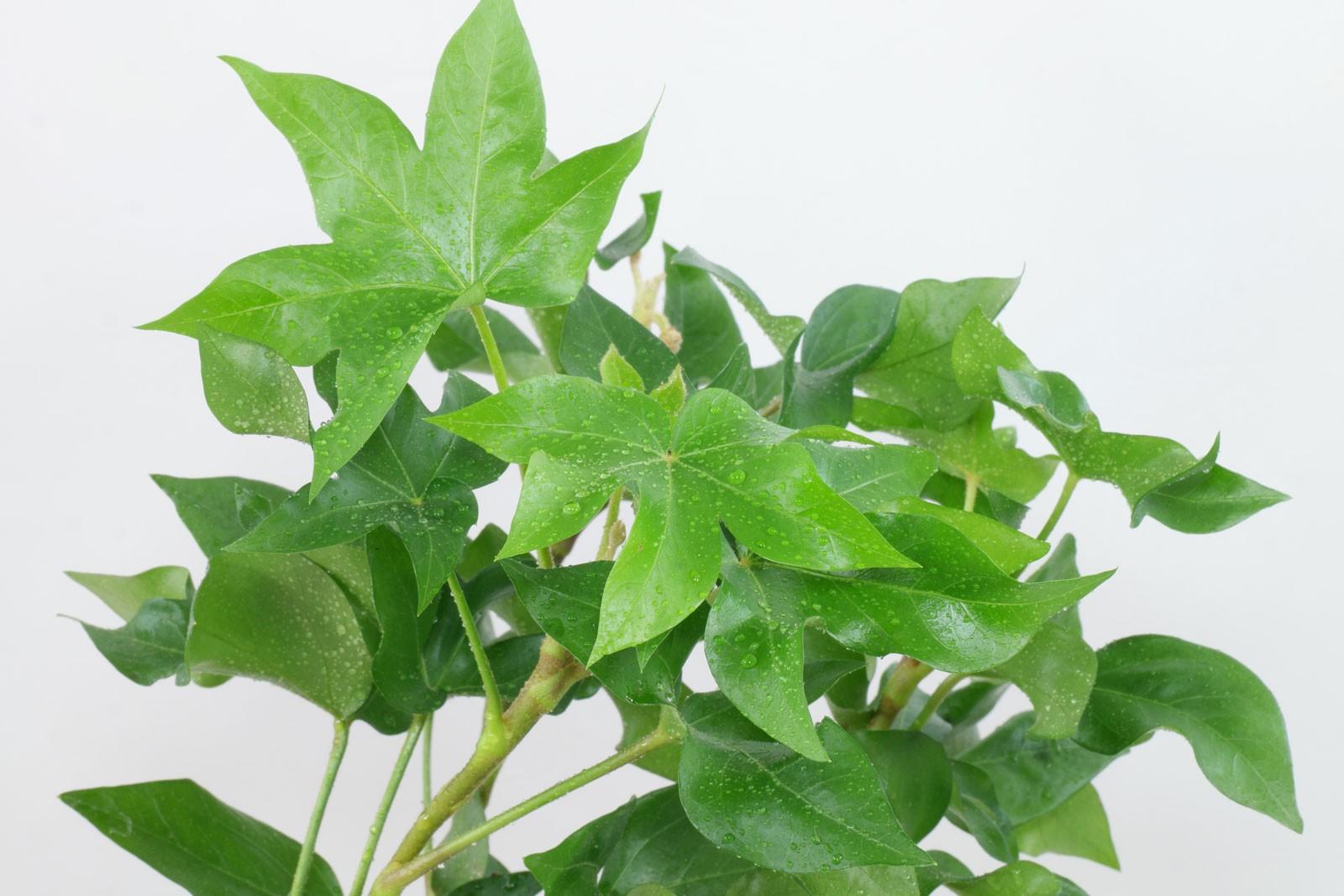 Фатсхедера: выращивание и уход в домашних условиях,фото,видео