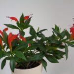 Эсхинантус: уход и выращивание в домашних условиях