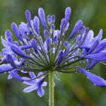 Агапантус: выращивание и посадка в домашних условиях,фото,видео