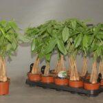 Пахира: выращивание и уход в домашних условиях