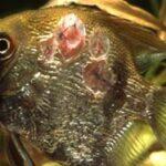 Язвы у пресноводных рыб