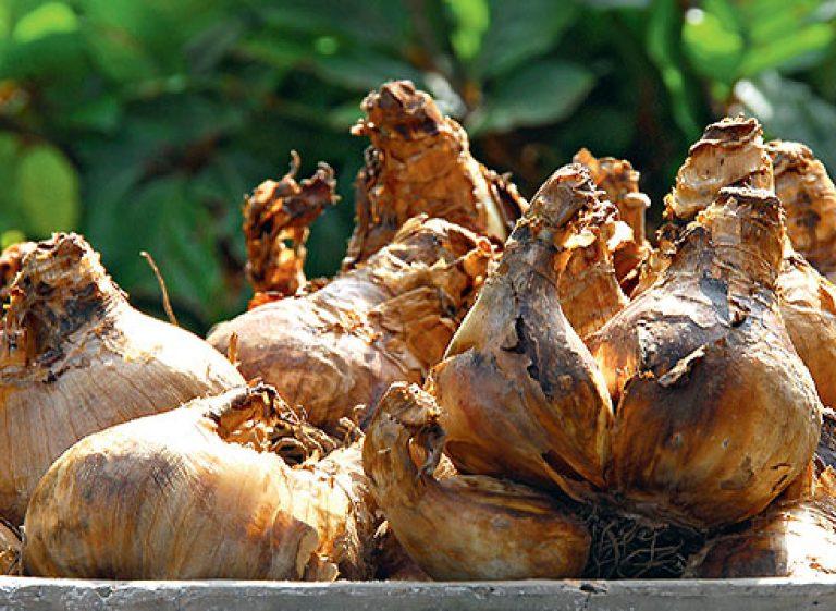Луковый корневой клещ: строение,виды,как бороться,фото,описание