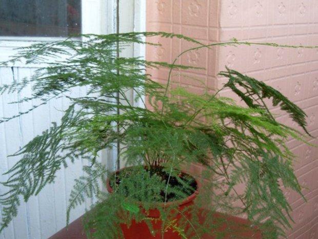 Аспарагус перистый:выращивание и уход в домашних условиях ,фото,видео