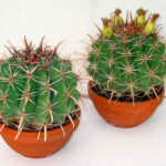 Ферокактус: описание,размножение,виды,уход,вредители,фото,видео