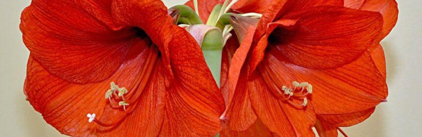 Амариллис- виды, сорта, уход в домашних условиях