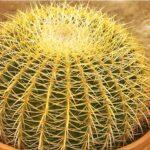 Эхинокактус – echinocactus: уход,содержание,размножение,описание,фото,видео,виды
