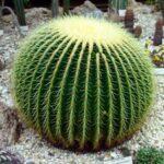 Кактусы; описание,размножение,уход,выращивание,фото,видео,виды