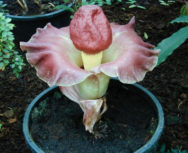 Аморфофаллус: описание,виды,сорта,размножение,выращивание,фото,видео