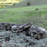 Гюрза змея: виды,описание,фото,питание,яд,размножение,особенности