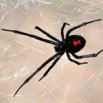 Каракурт паук: описание,фото,размножение,питание,укус,среда обитания