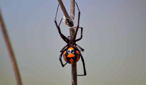 Каракурт паук: описание,фото,размножение,питание,укус,среда обитания   АКВАРИУМНЫЕ РЫБКИ