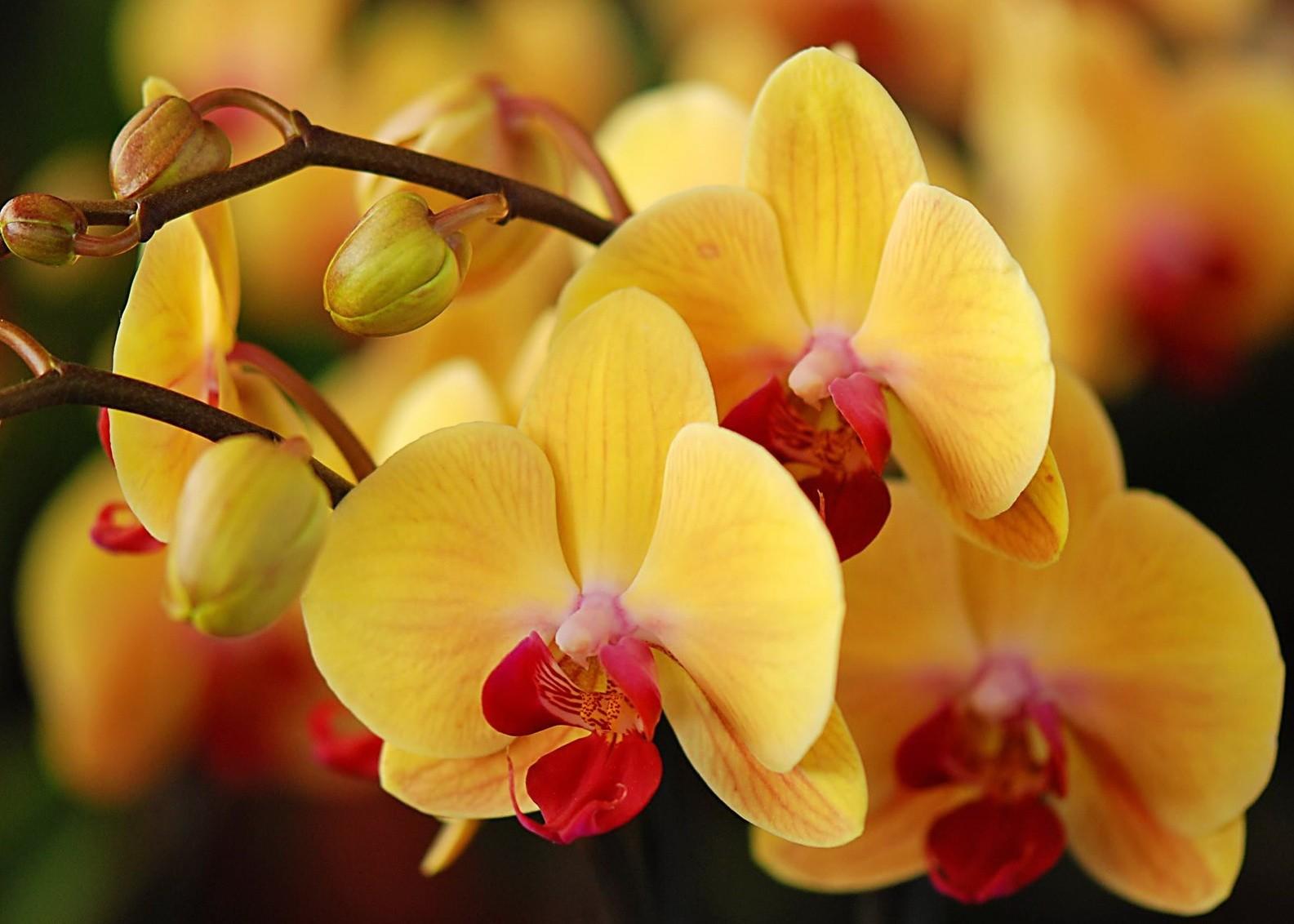 Орхидея: уход и выращивание в домашних условиях