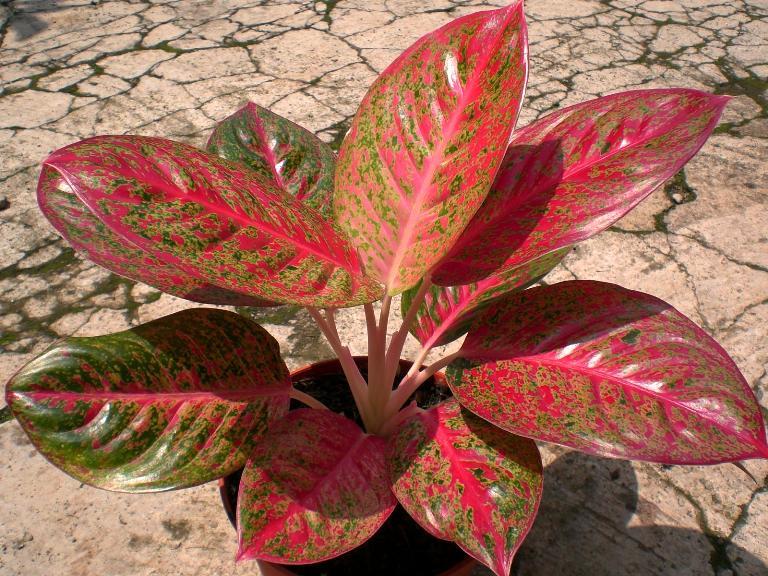 Аглаонема: выращивание,описание,фото,видео,полив,почва,уход