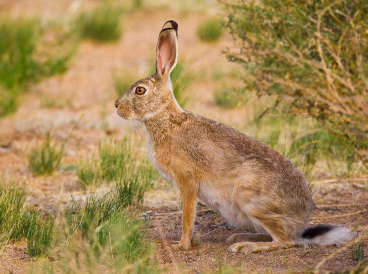 Заяц: виды, размножение, питание, места обитания, фото, описание, враги, внешний вид