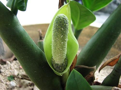 Замиокулькас: выращивание,уход,описание,фото,видео,полив,размножение