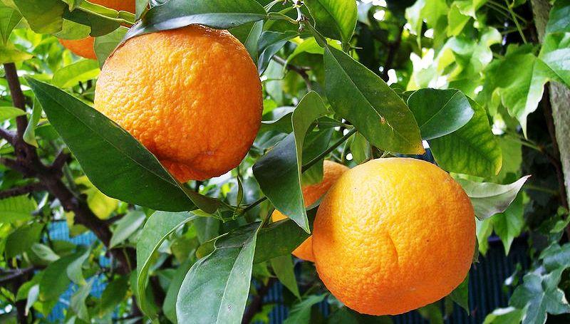 Бигарадия (померанец, горький апельсин):описание,уход,содержание,полезные свойства,фото