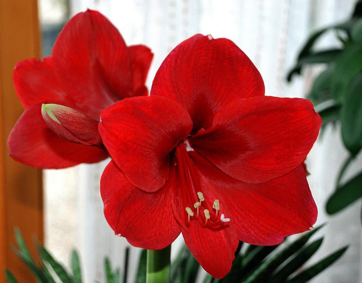 Гиппеаструм: уход и выращивание в домашних условиях,фото,видео
