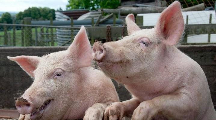 Свинья:виды,содержание,разведение,строение,питание,фото,описание,болезни