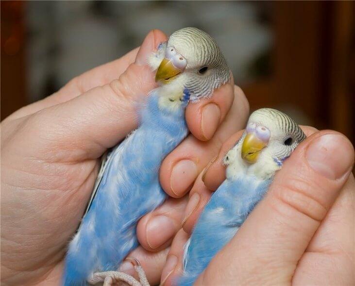 Как отличить самку от самца попугая?