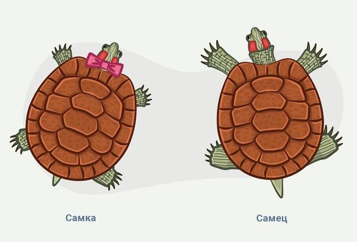 Как отличить самку от самца красноухой черепахи?
