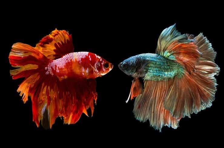 Совместимость петушков с другими рыбками в аквариуме