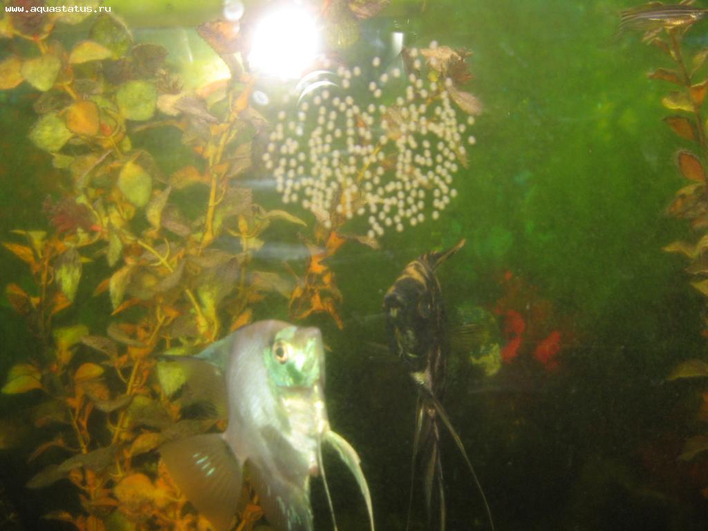 Разведение скалярий в общем аквариуме