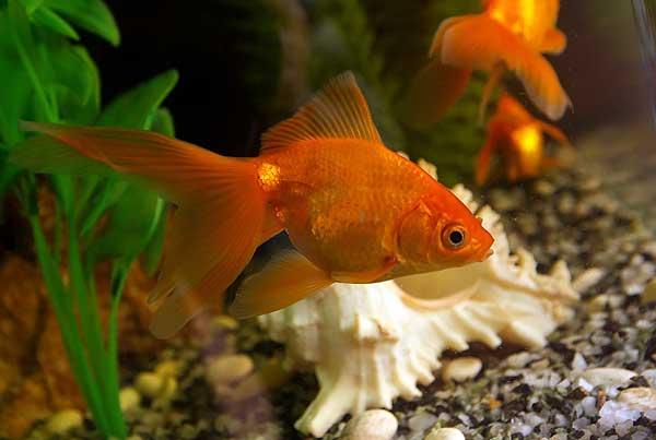 Размножение золотых рыбок в домашних условиях