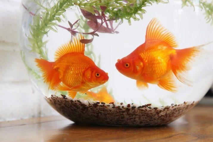 Содержание золотой рыбки в круглом аквариуме