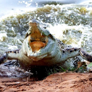 Оринокский или колумбийский крокодил