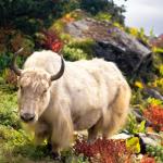 Як — животное из рода настоящих быков, обитающее в высокогорных регионах Центральной Азии