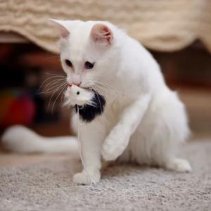 Почему кошка носит в зубах игрушку — 5 причин