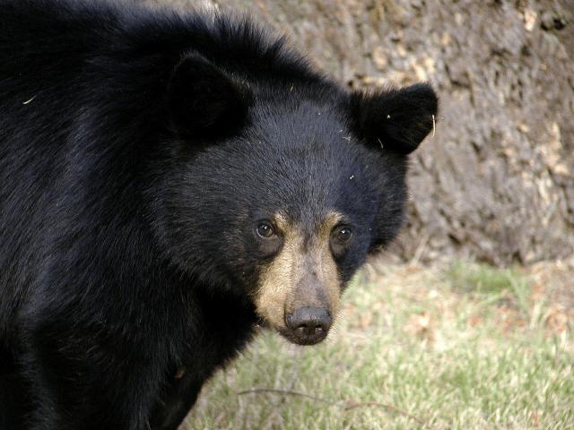 Дружелюбные черные медведи – это очень плохо