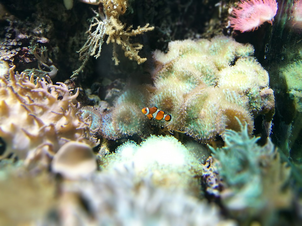 clown-fish-1990250_960_720
