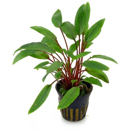 cryptocoryne-beckettii-petchii-pot