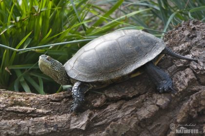 european-pond-turtle-132801