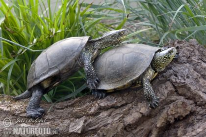 european-pond-turtle-132814