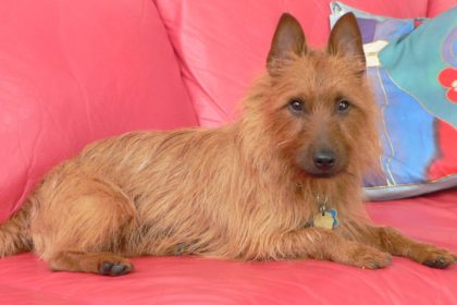 australian-terrier-resting-wallpaper-1389x926