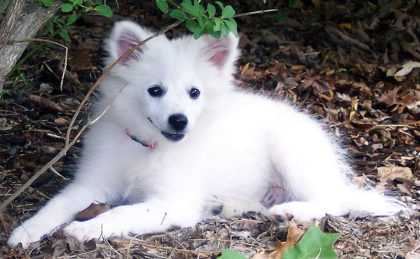 american-eskimo-dog-images