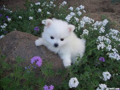 cute-american-eskimo-dog-puppy-breed